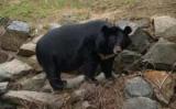 В США три медведя, вошли в пиццерию и съела всю колбасу (видео)