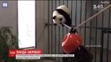 Панда-акробат: как ежегодное медведица пыталась научиться ходить по канату (видео)